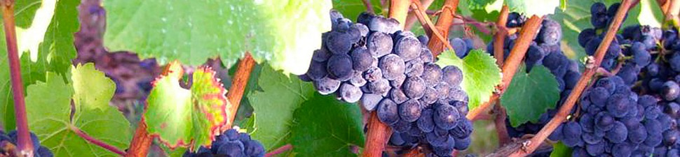 cropped-pinot-grapes1.jpg